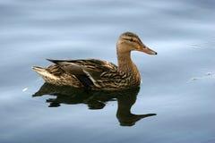 Wild Mallard duck Stock Image