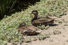 Wild Mallard duck females Royalty Free Stock Image