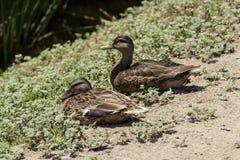 Wild Mallard duck females Royalty Free Stock Image