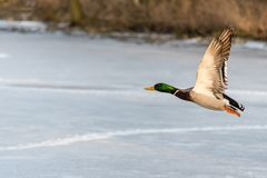 Wild mallard duck flying over the frozen lake. Beautiful wild bird in flight. Winter. Also known as Anas platyrhynchos Royalty Free Stock Photography