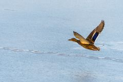 Wild mallard duck flying over the frozen lake. Beautiful wild bird in flight. Winter. Also known as Anas platyrhynchos Stock Images