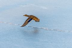 Wild mallard duck flying over the frozen lake. Beautiful wild bird in flight. Winter. Also known as Anas platyrhynchos Stock Photography