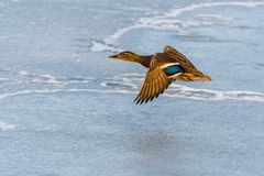 Wild mallard duck flying over the frozen lake. Beautiful wild bird in flight. Winter. Also known as Anas platyrhynchos Stock Image