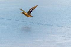 Wild mallard duck flying over the frozen lake. Beautiful wild bird in flight. Winter. Also known as Anas platyrhynchos Stock Images