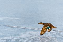 Wild mallard duck flying over the frozen lake. Beautiful wild bird in flight. Winter. Also known as Anas platyrhynchos Stock Photo