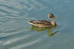 Mallard duck hen swimming in lake. Wild Mallard duck hen bird swimming alone in lake making rippled wake in water Royalty Free Stock Photos
