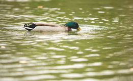 Wild mallard duck Royalty Free Stock Images