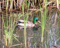 Wild mallard duck in the river. In the thickets of bulrush Stock Photo