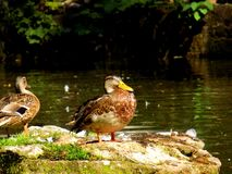 Wild mallard duck. Standing on rock in pond Stock Photography