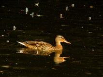 Wild mallard duck Stock Photography