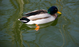Wild  Mallard duck. A  Mallard duck swimming in a pond Royalty Free Stock Photo