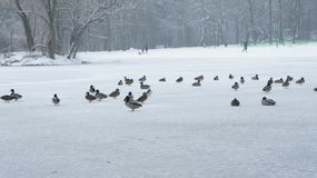 Wild mallard duck walking on ice in the winter. A wild mallard duck is walking on frozen ice water of a lake in the winter Lodz Poland Stock Photo