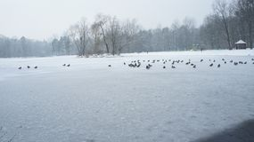 Wild mallard duck walking on ice in the winter. A wild mallard duck is walking on frozen ice water of a lake in the winter Lodz Poland Royalty Free Stock Photos