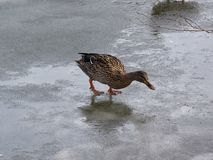 Wild mallard duck walking on ice in the winter. A wild mallard duck is walking on frozen ice water of a lake in the winter Royalty Free Stock Image