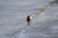 Wild mallard duck walking on ice in the winter. A wild mallard duck is walking on frozen ice water of a lake in the winter Royalty Free Stock Photography