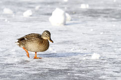 Wild mallard duck walking on ice in the winter. A wild mallard duck is walking on frozen ice water of a lake in the winter Royalty Free Stock Images