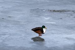Wild mallard duck walking on ice in the winter. A wild mallard duck is walking on frozen ice water of a lake in the winter Stock Photo