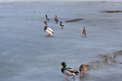 Wild mallard duck walking on ice in the winter. A wild mallard duck is walking on frozen ice water of a lake in the winter Royalty Free Stock Photo