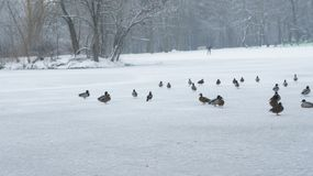 Wild mallard duck walking on ice in the winter. A wild mallard duck is walking on frozen ice water of a lake in the winter Lodz Poland Stock Photography