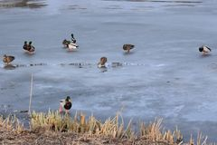 Wild mallard duck walking on ice in the winter. A wild mallard duck is walking on frozen ice water of a lake in the winter Stock Photography