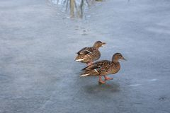 Wild mallard duck walking on ice in the winter. A wild mallard duck is walking on frozen ice water of a lake in the winter Stock Images