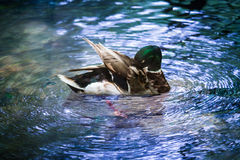 Wild Mallard Duck in Water. Wildlife photography of mallard duck floating / swiming in a pool of blue water Royalty Free Stock Photo