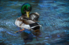 Wild Mallard Duck in Water. Wildlife photography of mallard duck floating / swiming in a pool of blue water Royalty Free Stock Photos