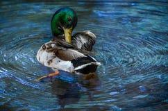 Wild Mallard Duck in Water Royalty Free Stock Photos