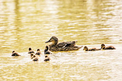 Wild Mallard duck with youngs, photo filter. Beautiful wild Mallard duck with youngs – Anas platyrhynchos. Detailed natural scene. Yellow photo filter Royalty Free Stock Photos