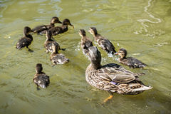 Wild Mallard duck with youngs in the water Royalty Free Stock Image