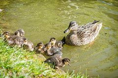 Wild Mallard duck with youngs in the water. Wild Mallard duck with youngs – Anas platyrhynchos in the water. Beauty in nature. Spring time. Birds scene. Young Royalty Free Stock Photos