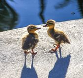 Cute wild mallard ducklings looking at each other. Two tiny wild mallard ducklings look at each other as if trying to figure out their brand new world together Royalty Free Stock Image