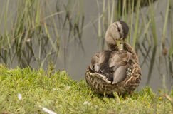Wild Mallard ducks, Anas platyrhynchos. At the edge of a pond Royalty Free Stock Images