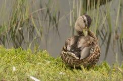 Wild Mallard ducks, Anas platyrhynchos Royalty Free Stock Images