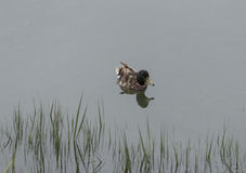 Wild Mallard ducks, Anas platyrhynchos. At the edge of a pond Stock Image