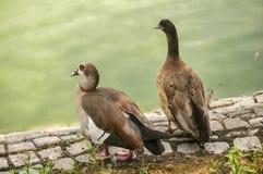 Wild mallard ducks closeup. Wild mallard ducks on pond stone bank closeup Stock Images