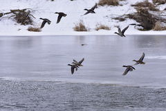 Wild mallard ducks. Wild mallard duck flying over frozen rive Royalty Free Stock Images