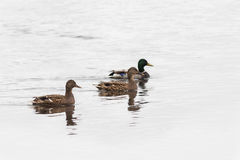 Wild mallard ducks. Wild mallard duck two females and one male - drake Royalty Free Stock Photo