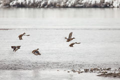 Wild mallard ducks. A flock of wild ducks in flight Royalty Free Stock Photography