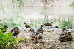 Wild mallard ducks on the lake shore, animal scene Royalty Free Stock Photo