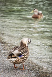 Wild mallard ducks on the lake shore, animal scene Royalty Free Stock Photos