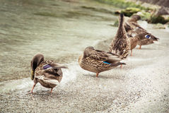 Wild mallard ducks on the lake shore, beauty in nature Stock Photography