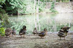 Wild mallard ducks on the lake shore Royalty Free Stock Image