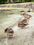 Wild mallard ducks on the lake shore, natural scene Stock Photos