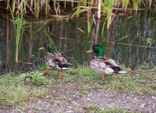 Wild mallard ducks near the river. In the thickets of bulrush Stock Photos