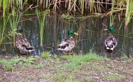 Wild mallard ducks near the river. In the thickets of bulrush Stock Photo