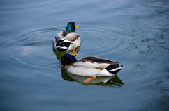 Wild  Mallard ducks in a pond. A pair of Mallard ducks swimming in a pond Stock Photos
