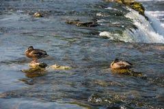 Wild mallard ducks. In the river near the waterfall Royalty Free Stock Photo