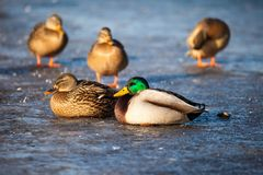 Wild  Mallard ducks sitting in ice lake. Stock Photography