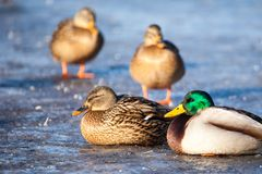 Wild  Mallard ducks sitting in ice lake. Wild  Mallard ducks sitting in ice lake Stock Images